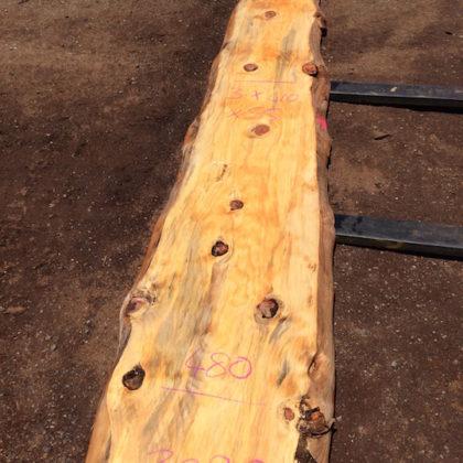 3090 Norfolk Island Pine